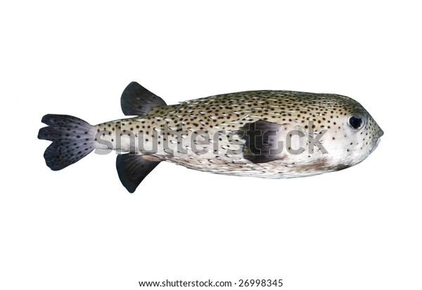 porcupine fish with clipping path