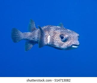 Porcupine fish hanging in the blue 'No play mates'