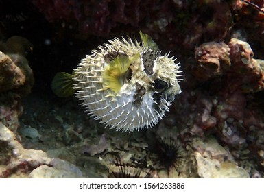 Porcupine fish. Inflated puffer fish. Porcupinefish like a balloon. Scared pufferfish on the coral reef of Andaman sea, Thailand. Underwater photography. Detail of spines of puffed puffer.
