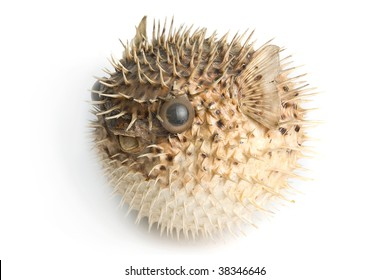 Porcupine fish isolated on a white background