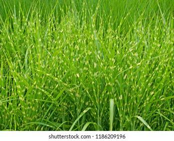 Porcupine grass, Miscanthus sinensis 'Strictus'