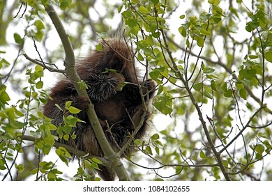 Porcupine high on a branch munching his dinner