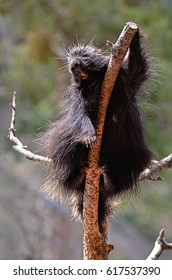 Porcupine high in a tree