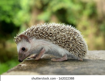 Porcupine  in the nature
