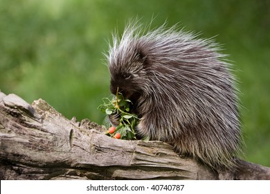Porcupine on a log eating berries