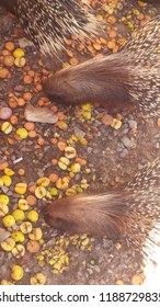 Porcupine of the park friguia sousse tunisia