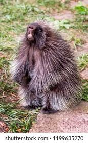 porcupine posing on his hind legs