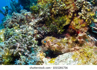 Porcupine Puffer Fish in Belize Barrier Reef