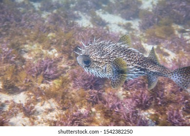 Porcupine puffer fish swimming in blue water and coral reef