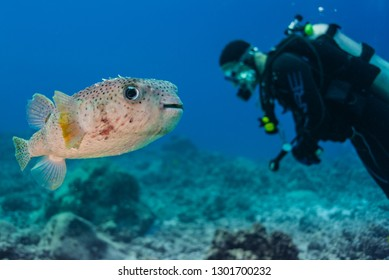 Porcupine puffer fish swimming by scuba diver