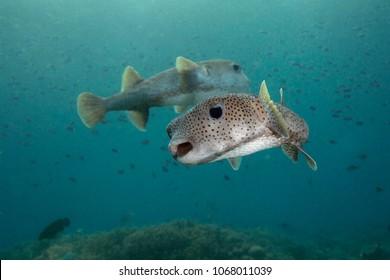 Porcupine pufferfish (Diodon hystrix). Picture was taken in the Ceram sea, Raja Ampat, West Papua, Indonesia