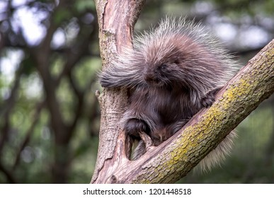 porcupine with sharp quills in a tree