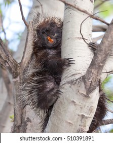 Porcupine showing his teeth