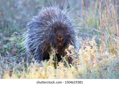 Porcupine in the summer meadow in Canada