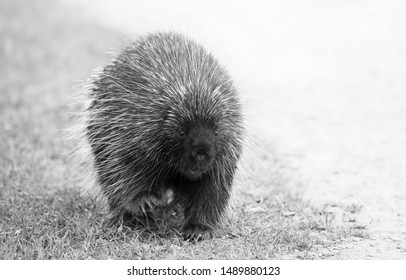 Porcupine walking along the trail in summer in Canada