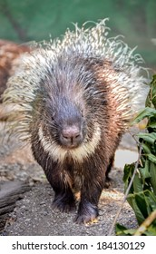 Porcupine is walking towards the camera