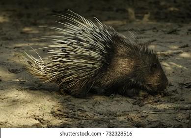 porcupine wild animal
