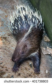 Porcupine in zoo.