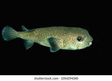 Porcupinefish, blowfish, balloonfish are fish belonging to the family Diodontidae., sometimes called pufferfish. Porcupine puffers are engaging and intelligent saltwater fish cute as cartoon animals.