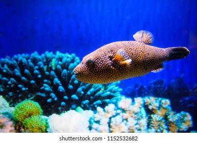 A Porcupinefish (Globefish, Blowfish, Balloonfish) in an Aquarium
