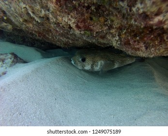 Porcupinefish hiding under a rock ledge near South Bimini Bahamas