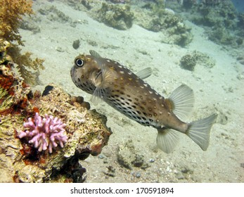 Porcupinefish hunting