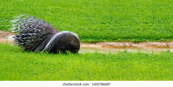 Porcupines are large rodents with a coat of sharp spines, or quills, that protect against predators.