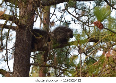 Porcupines in a tree