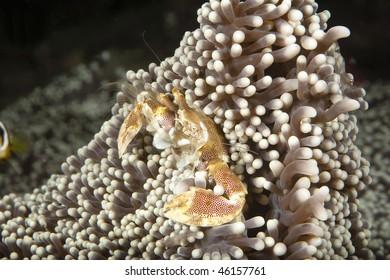 poreclain crab filtering his plankton