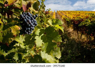 Port wine grapes on a beautiful vineyard in the Douro Region, Portugal.