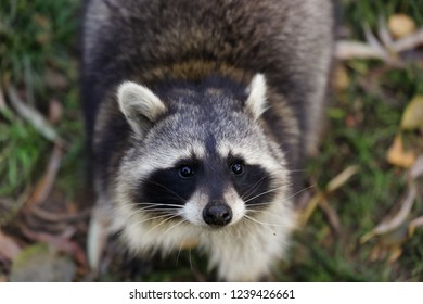 Portait of adult female common raccoon. Photography of nature and wildlife.