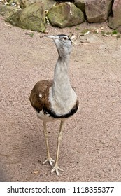 Portait of a Australian bustard in the zoo