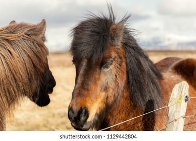 Portait of brown icelandic horse in winter Iceland