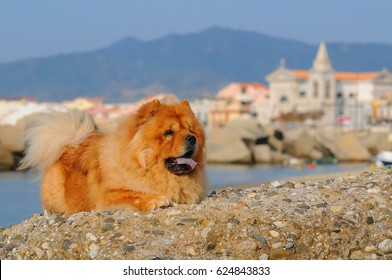 Portait of Chow Chow dog, Canis lupus familiaris.