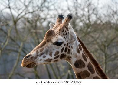 Portait of a giraffe