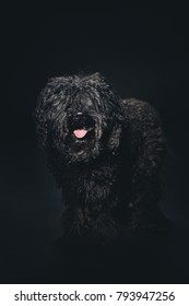 Portait of a Hungarian Puli dog in the studio.