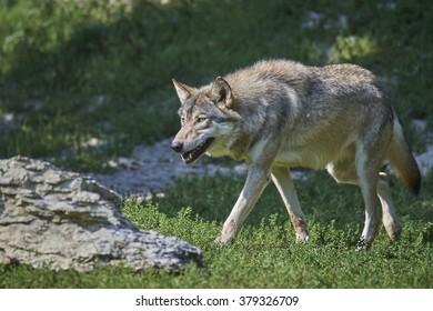 Portait of a timberwolf in summer