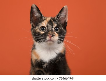 Portait of a tortoiseshell female cat looking up on a orange background