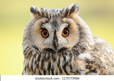 Portarit of Asio otus Long eared Owl
