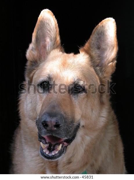 Porteait of a German Shepherd