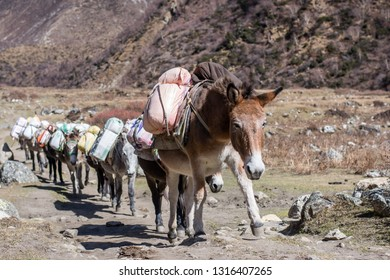 Porter mules on Manaslu circuit trek, Nepal