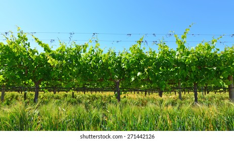A portion of a large Central California vineyard in spring, not yet ready for the grape harvest.