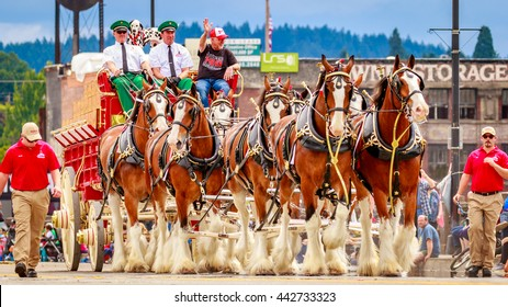 Portland, Oregon, USA - June 11, 2016: World Famous Budweiser Clydesdales in the Grand Floral Parade during Portland Rose Festival 2016.