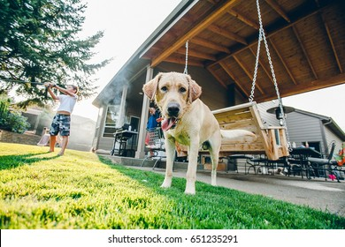 PORTLAND, USA - JULY 20 2015: Golden Labrador is standing outside on the grass in the backyard