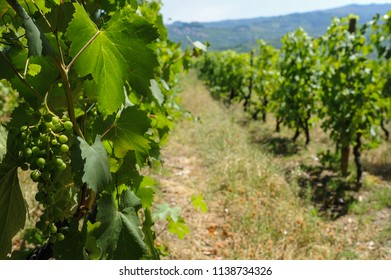 Porto, district of Porto, Portugal, June 12, 2017. Agricultural plantation in the valley of the river Douro, beautiful agriculture of grapes.