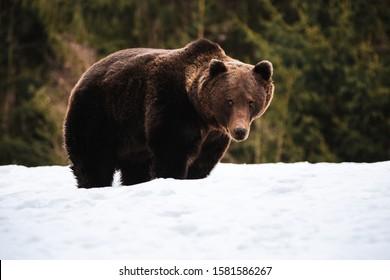 Portero de un oso marrón macho en el bosque silvestre. Rumania, Transilvania.