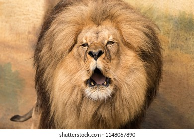 Portrail of male lion with naked fangs in half-open mouth and naked lower fangs fangs.