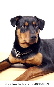 portrait of 10 mounth old rottweiler pincher dog