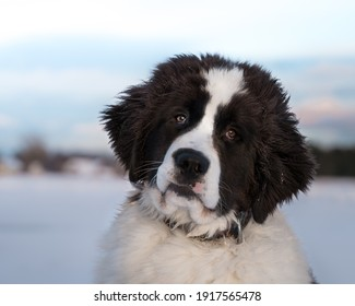 Portrait of 5 month old Landseer  puppy in winter background. Water rescue dog in cold February day.