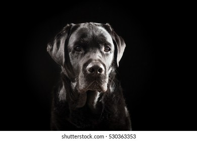 Portrait of a 6 Years Old Black Labrador Retriever Against Black Background